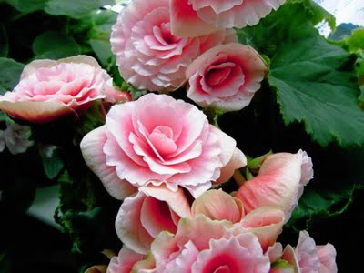 tuberous-rooted-begonia